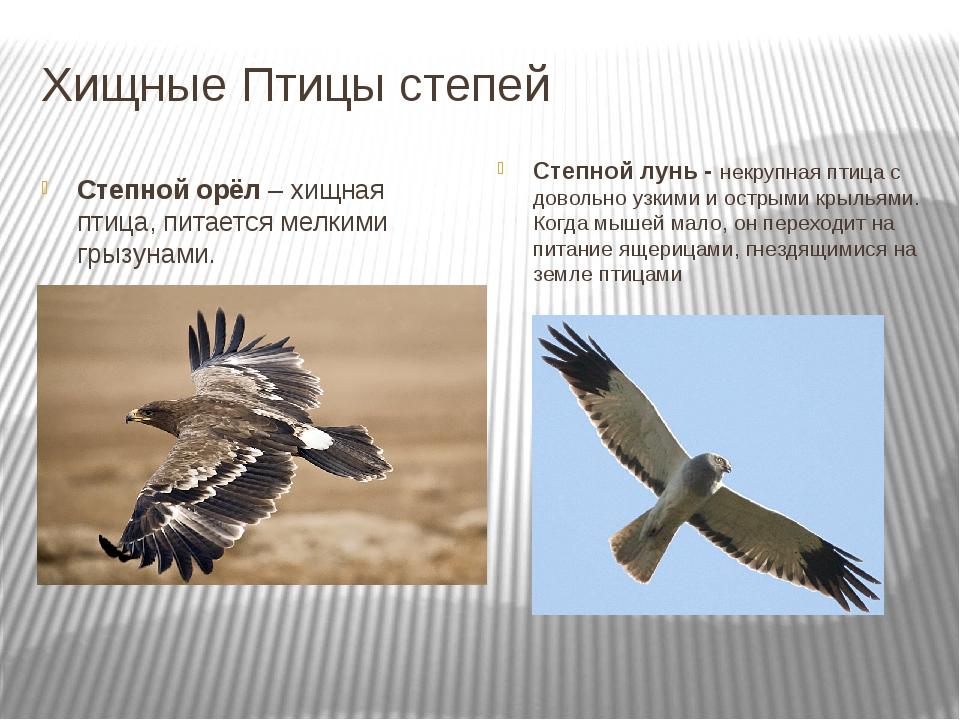 Хищные Птицы степей Степной орёл – хищная птица, питается мелкими грызунами....