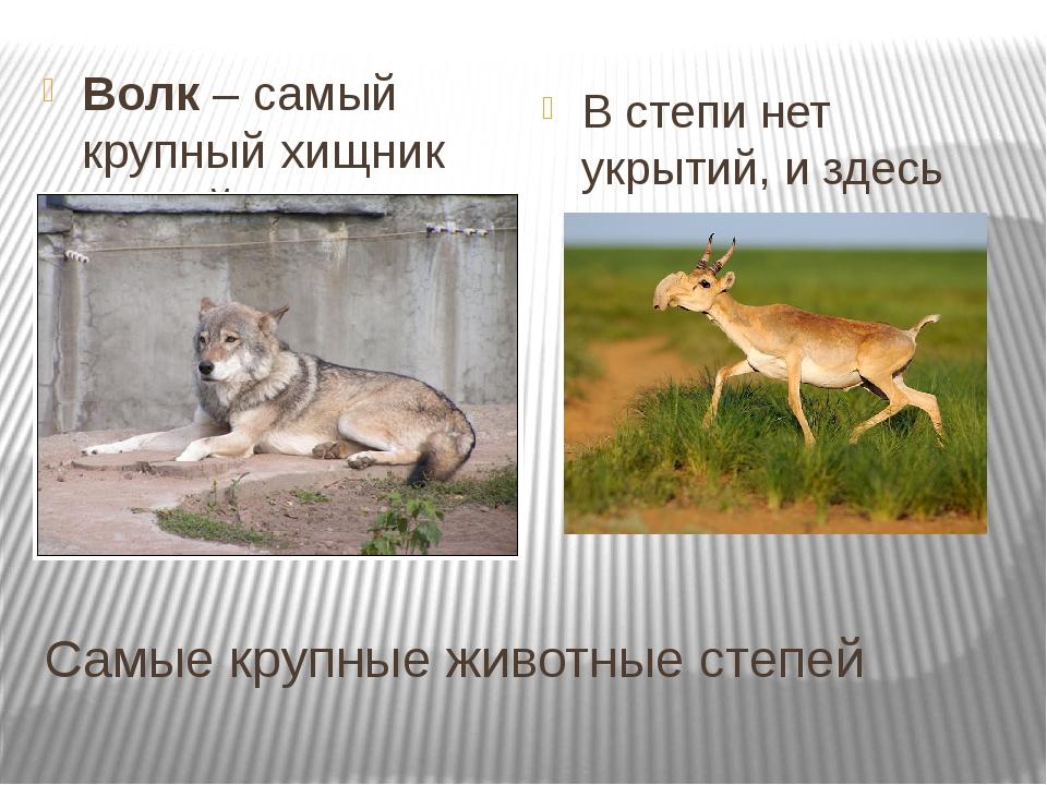 Самые крупные животные степей Волк – самый крупный хищник степей. Прочитайте...