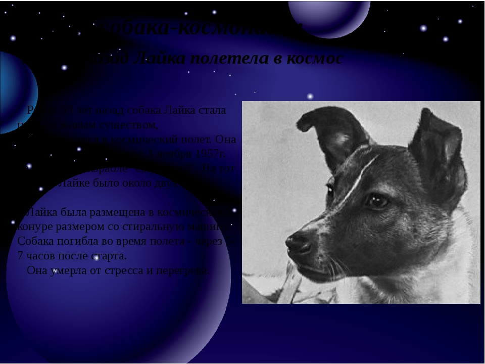 Первая собака-космонавт: 59 лет назад Лайка полетела в космос Ровно 59 лет н...