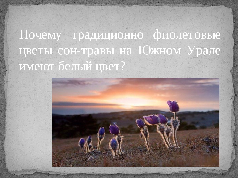 Почему традиционно фиолетовые цветы сон-травы на Южном Урале имеют белый цвет?