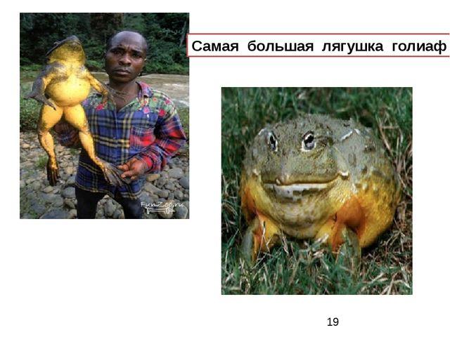 Самая большая лягушка голиаф Самая большая лягушка голиаф