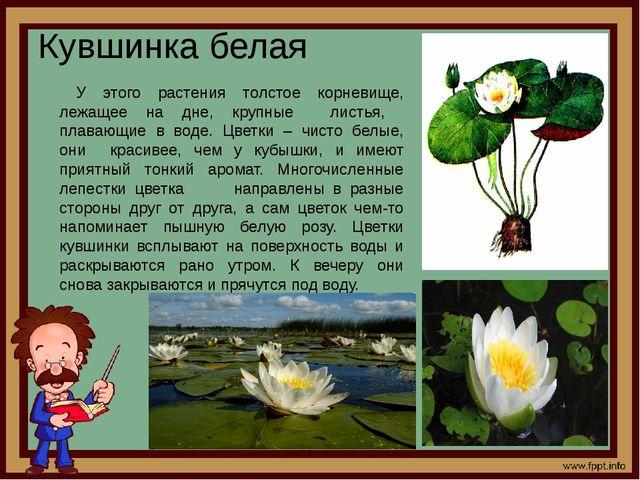 Кувшинка белая У этого растения толстое корневище, лежащее на дне, крупные ли...