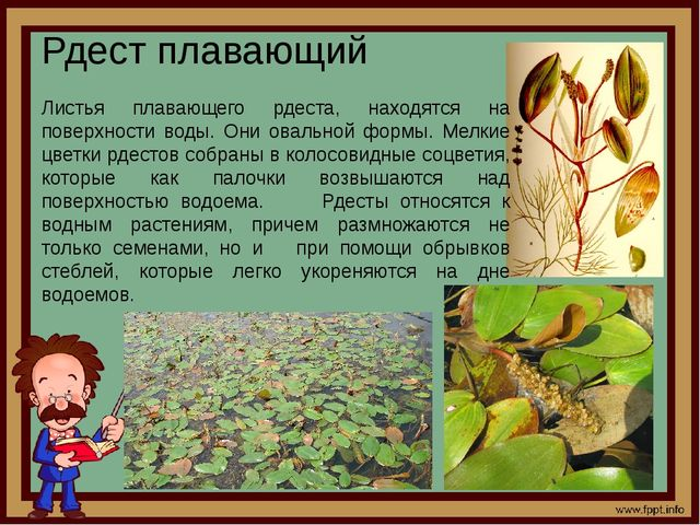 Рдест плавающий Листья плавающего рдеста, находятся на поверхности воды. Они...