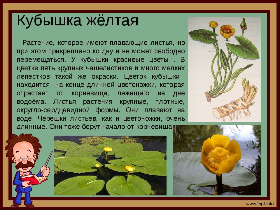 Кубышка жёлтая Растение, которое имеют плавающие листья, но при этом прикрепл...