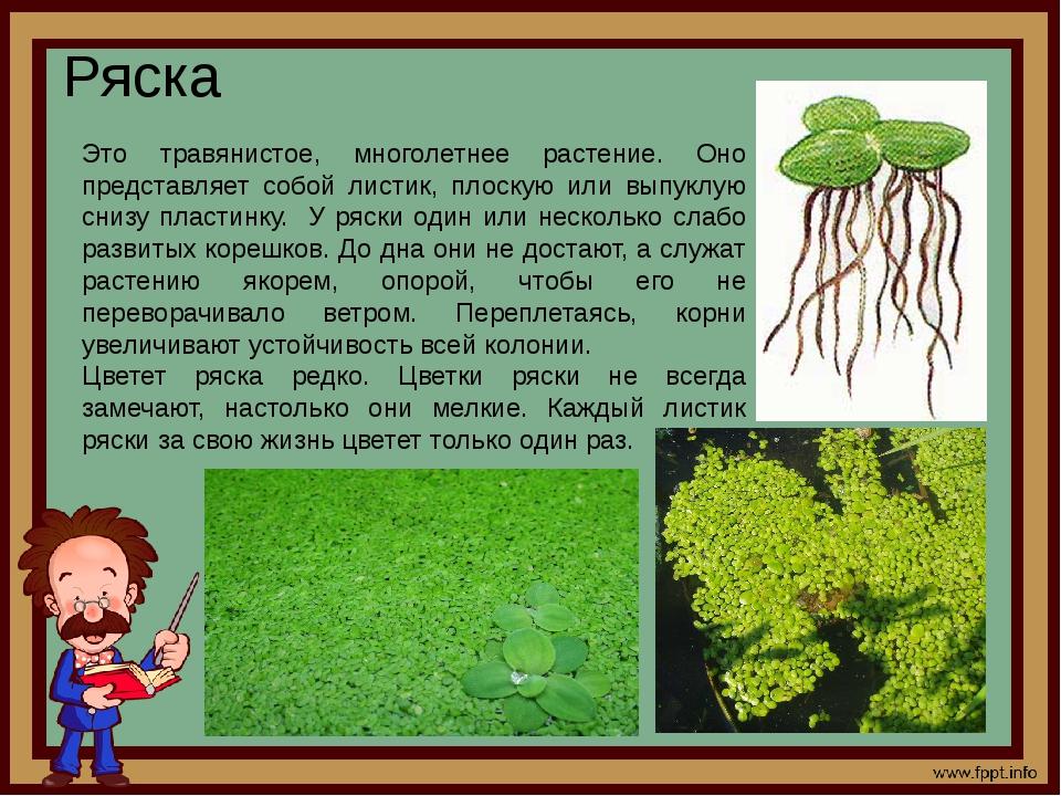 Ряска Это травянистое, многолетнее растение. Оно представляет собой листик, п...
