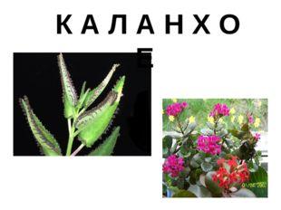 К А Л А Н Х О Е