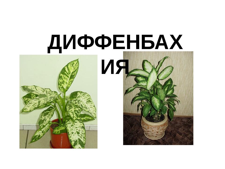 ДИФФЕНБАХИЯ