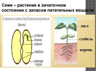 Семя – растение в зачаточном состоянии с запасом питательных веществ.