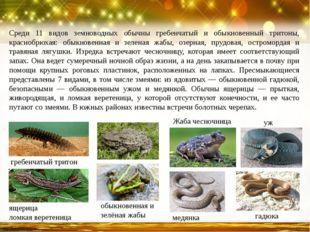 Среди 11 видов земноводных обычны гребенчатый и обыкновенный тритоны, красноб