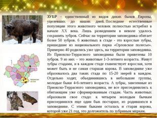 ЗУБР – единственный из видов диких быков Европы, уцелевших до наших дней.Пос