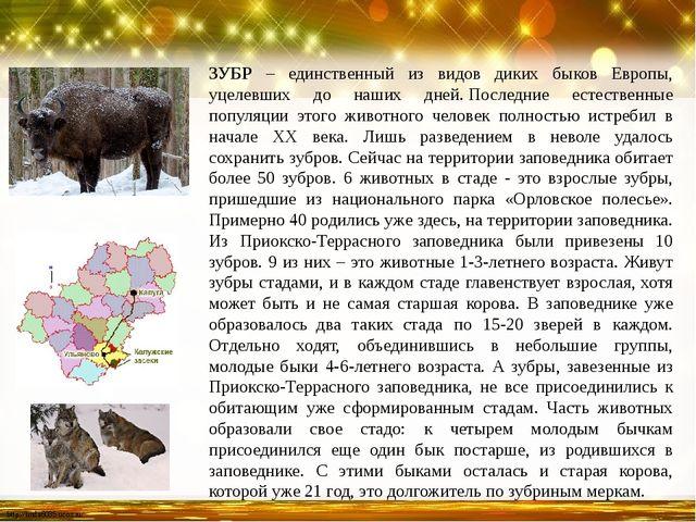 ЗУБР – единственный из видов диких быков Европы, уцелевших до наших дней.Пос...