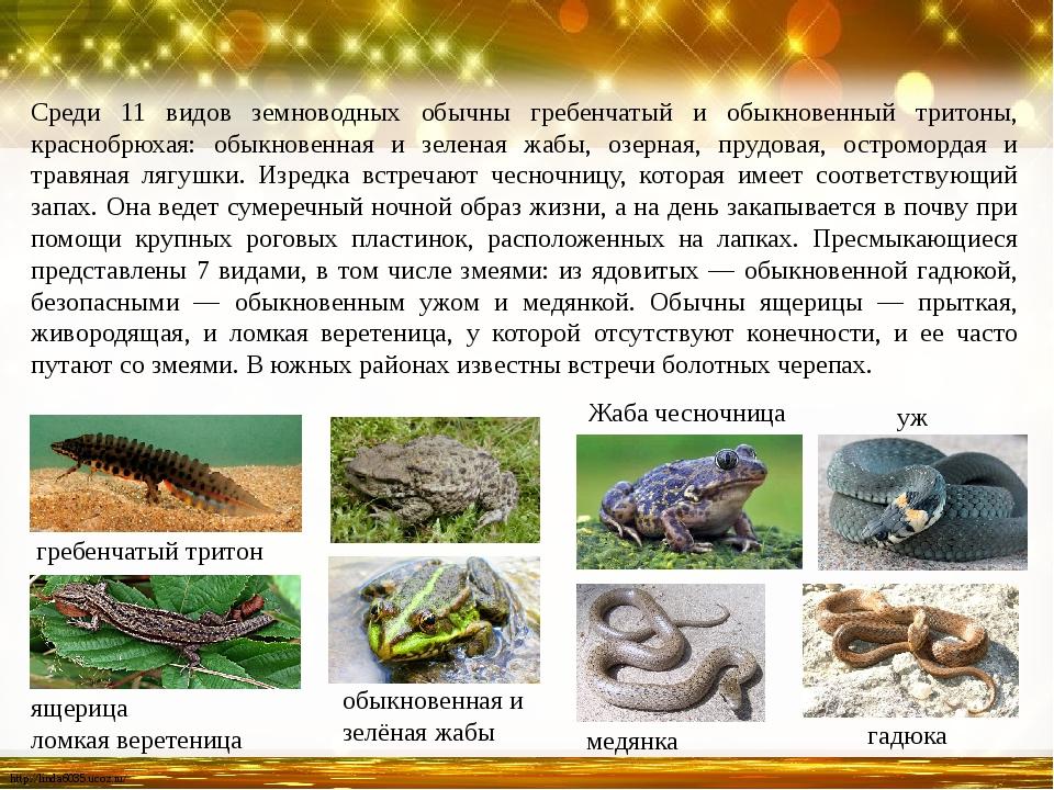 Среди 11 видов земноводных обычны гребенчатый и обыкновенный тритоны, красноб...