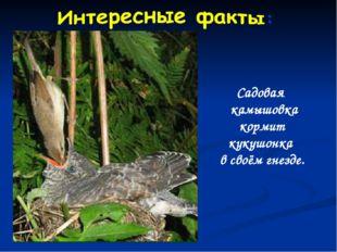 Садовая камышовка кормит кукушонка в своём гнезде.
