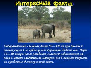 Новорождённый слонёнок весит 90—120 кг при высоте в плечах около 1 м, хобот у