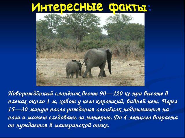 Новорождённый слонёнок весит 90—120 кг при высоте в плечах около 1 м, хобот у...
