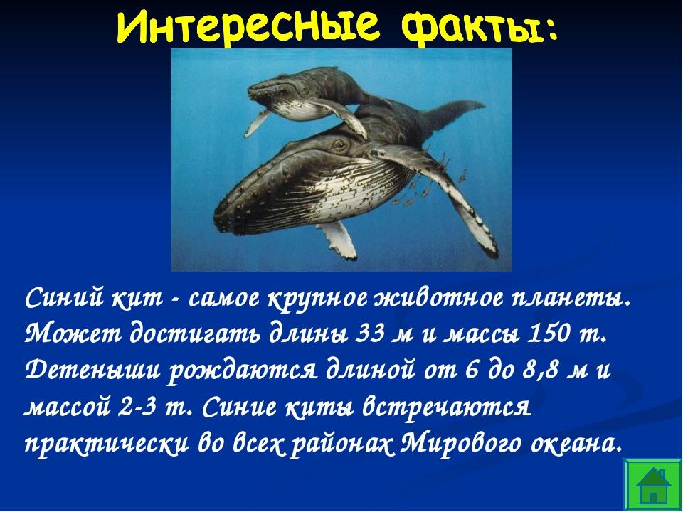 Синий кит - самое крупное животное планеты. Может достигать длины 33 м и масс...