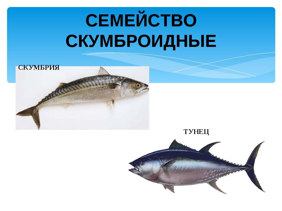 СКУМБРИЯ ТУНЕЦ СЕМЕЙСТВО СКУМБРОИДНЫЕ
