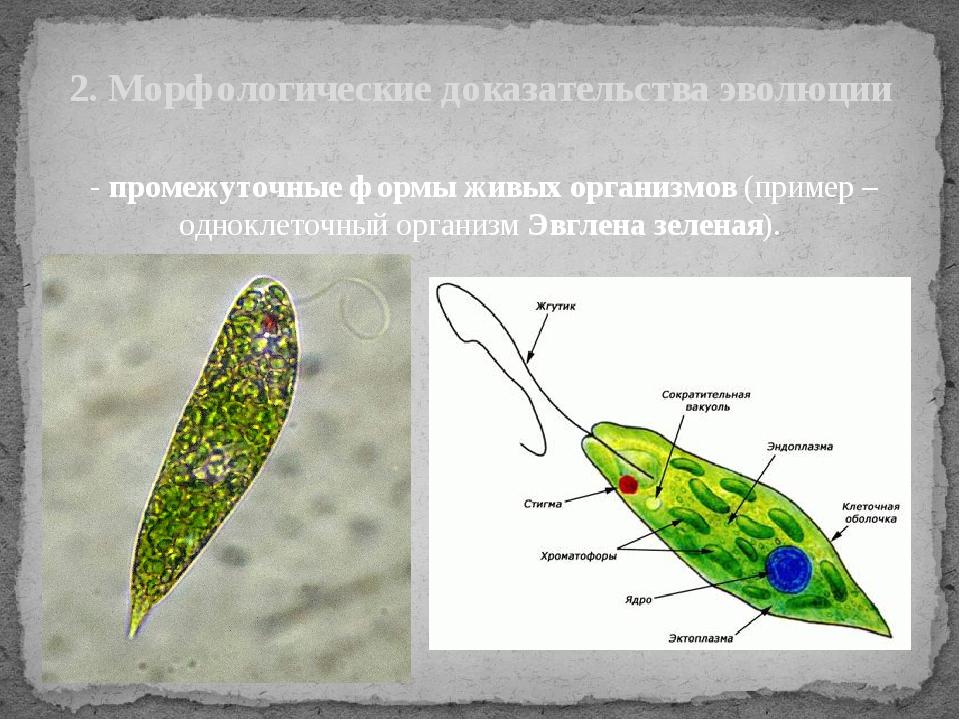 - промежуточные формы живых организмов (пример – одноклеточный организм Эвгл...