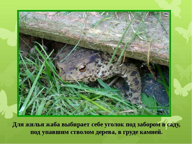 Для жилья жаба выбирает себе уголок под забором в саду, под упавшим стволом д...