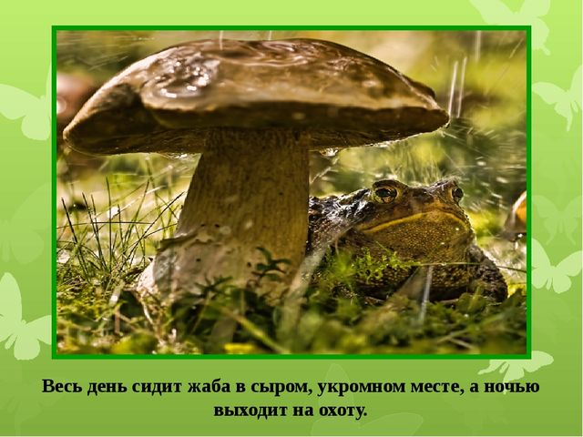 Весь день сидит жаба в сыром, укромном месте, а ночью выходит на охоту.