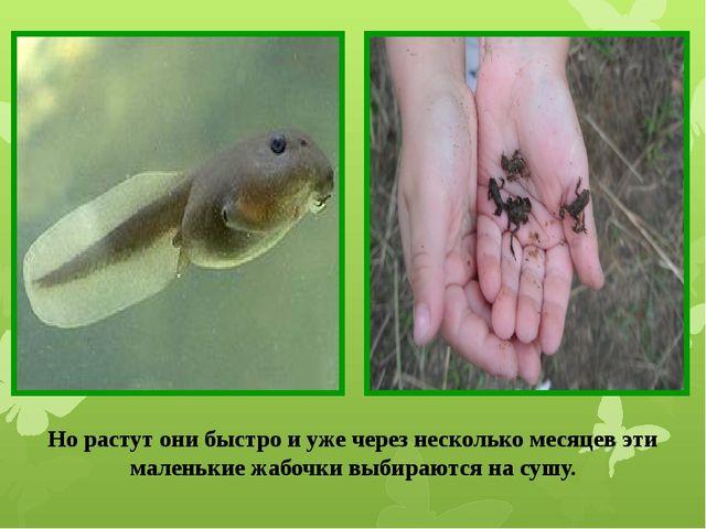 Но растут они быстро и уже через несколько месяцев эти маленькие жабочки выби...