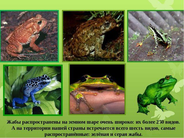 Жабы распространены на земном шаре очень широко: их более 250 видов. А на тер...