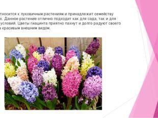 Гиацинт относится к луковичным растениям и принадлежит семейству спаржевых.