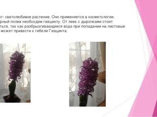 Гиацинт- светолюбивое растение. Оно применяется в косметологии. Регулярный п