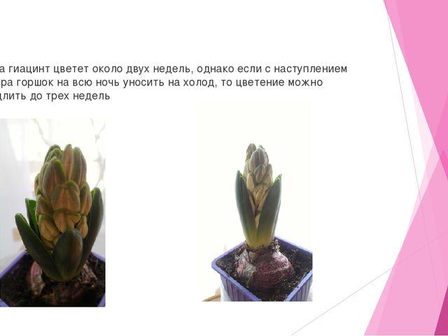 Дома гиацинт цветет около двух недель, однако если с наступлением вечера гор...