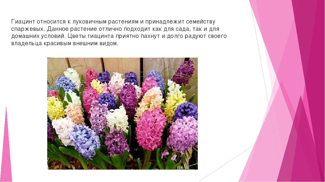 Гиацинт относится к луковичным растениям и принадлежит семейству спаржевых....