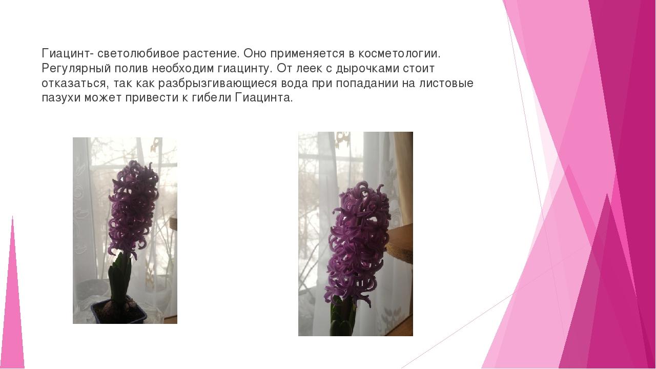 Гиацинт- светолюбивое растение. Оно применяется в косметологии. Регулярный п...