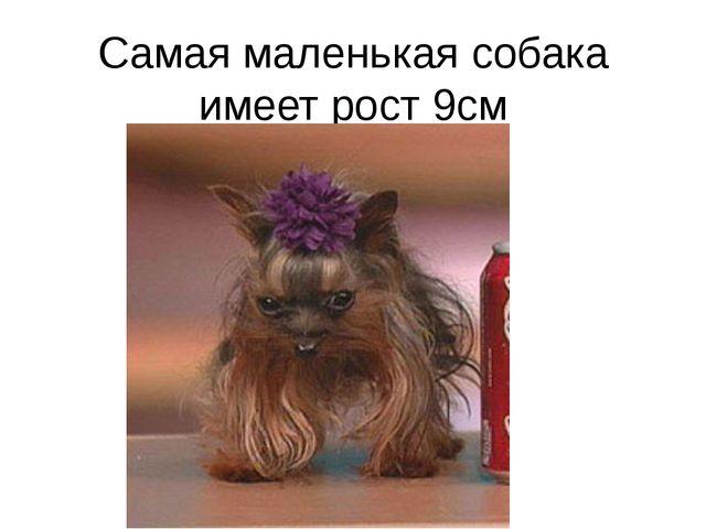Самая маленькая собака имеет рост 9см