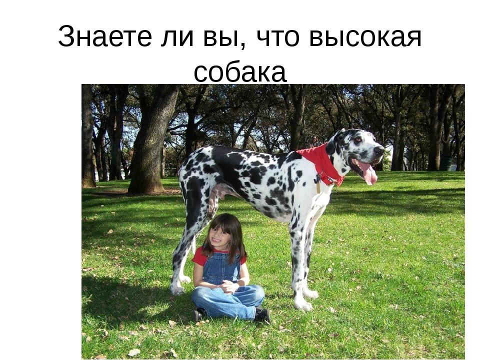 Знаете ли вы, что высокая собака имеет рост 1м 54 см