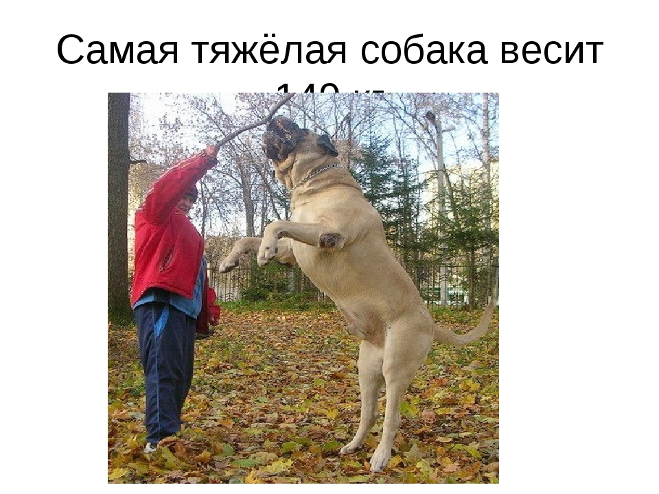 Самая тяжёлая собака весит 149 кг