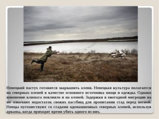 Ненецкий пастух готовится заарканить оленя. Ненецкая культура полагается на с