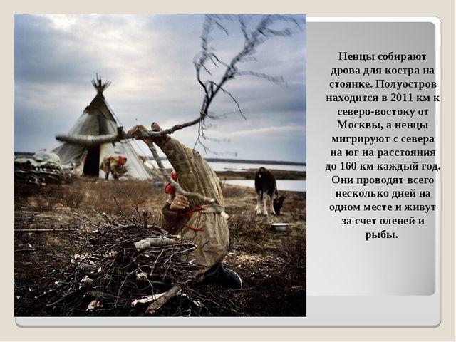 Ненцы собирают дрова для костра на стоянке. Полуостров находится в 2011 км к...