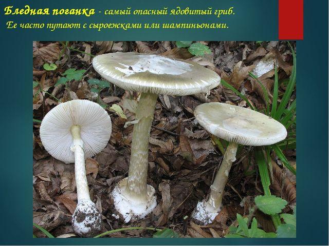 Бледная поганка - самый опасный ядовитый гриб. Ее часто путают с сыроежками и...
