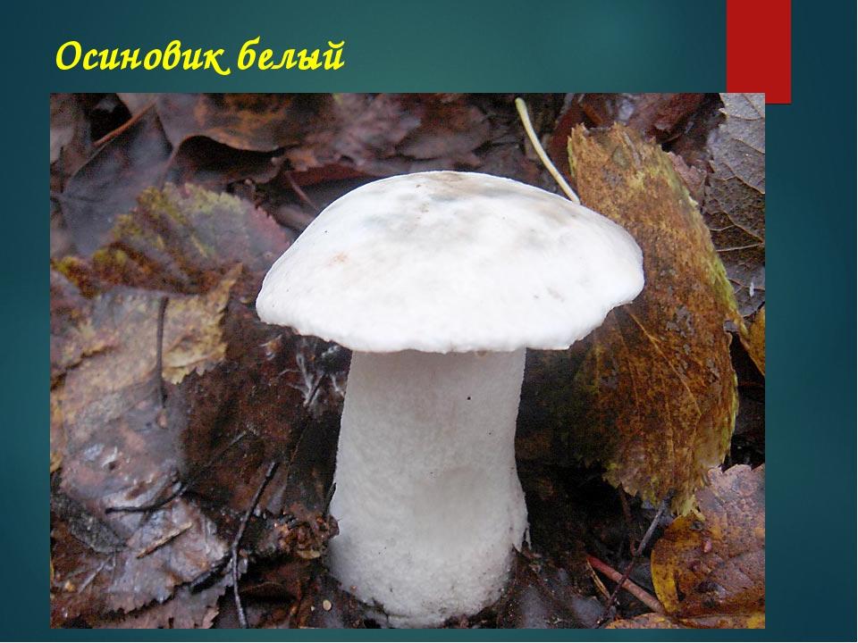 Белый гриб водится в лесах почти всех