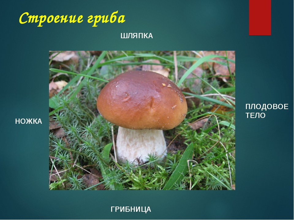 Строение гриба ШЛЯПКА НОЖКА ПЛОДОВОЕ ТЕЛО ГРИБНИЦА