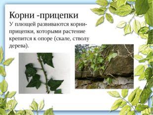 Корни -прицепки У плющей развиваются корни-прицепки, которыми растение крепит