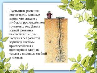 Пустынные растения имеют очень длинные корни, что связано с глубоким располож