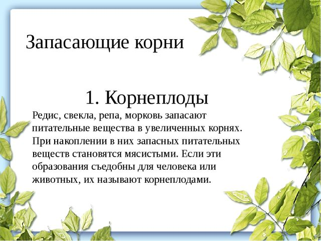 Запасающие корни 1. Корнеплоды Редис, свекла, репа, морковь запасают питатель...