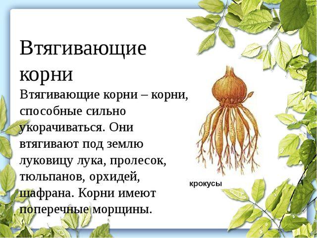 Втягивающие корни Втягивающие корни– корни, способные сильно укорачиваться....