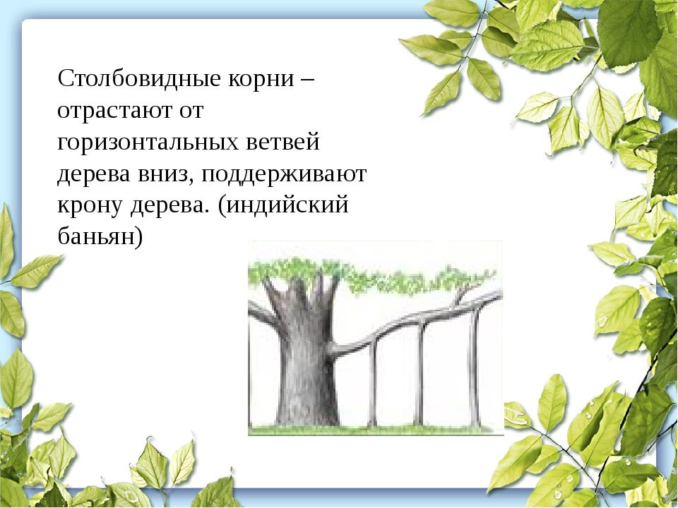 Столбовидные корни – отрастают от горизонтальных ветвей дерева вниз, поддержи...