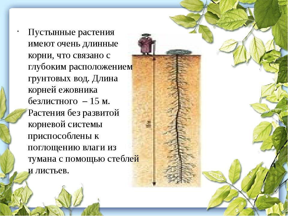 Пустынные растения имеют очень длинные корни, что связано с глубоким располож...