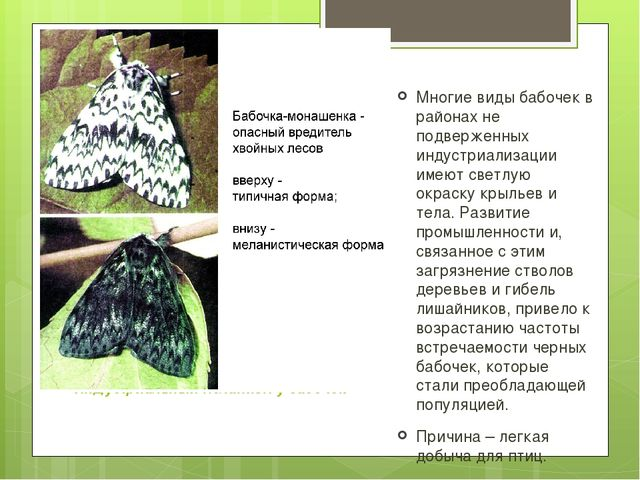 Индустриальный меланизм у бабочек Многие виды бабочек в районах не подверженн...