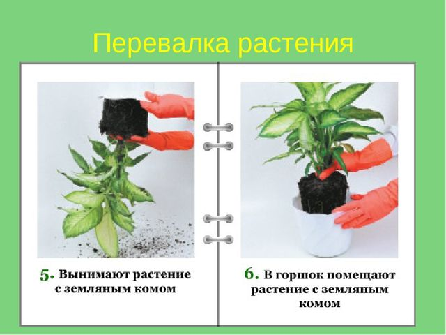 Перевалка растения