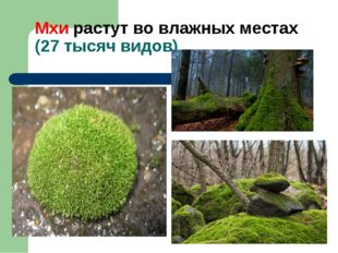 Мхи растут во влажных местах (27 тысяч видов)