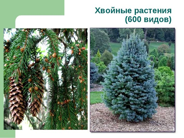 Хвойные растения (600 видов)