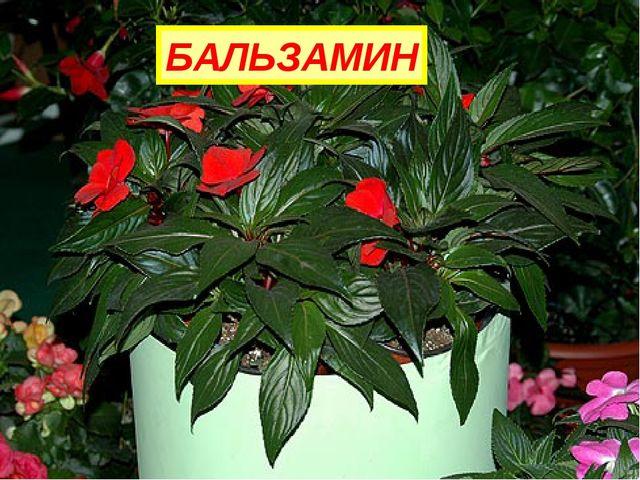 На окне зимой и летом Вечно зелен и красив. Ярко-красным цветом Горит нежно.....